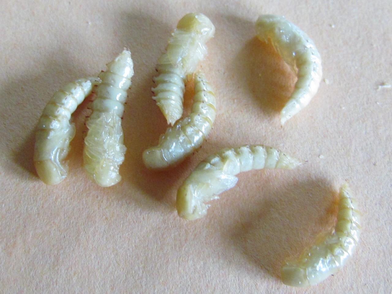 mączniki