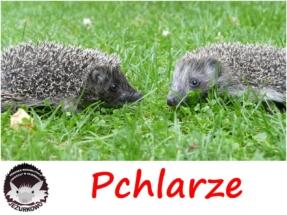 pchlarze